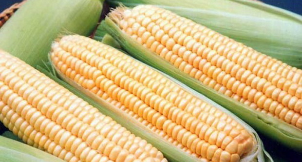 Сорт кукурузы сахарной: Супер санданс