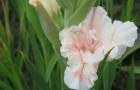 Сорт капусты гладиолуса: Сюзен сорос