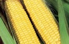 Сорт кукурузы сахарной: Трофи