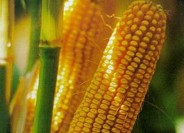Сорт кукурузы сахарной: Турбо