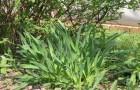 Сорт лука слизуна: Уральский фиолетовый