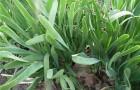 Сорт лука слизуна: Уральский красный