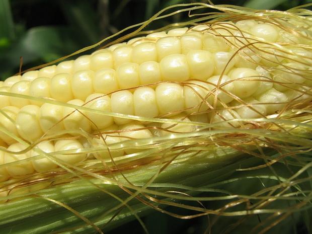Сорт кукурузы сахарной: Услада