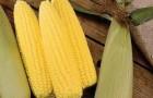 Сорт кукурузы сахарной: Утренняя песня