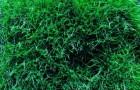 Сорт мятлика лугового: Вагант
