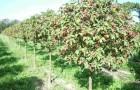 Сорт яблони декоративной: Великан