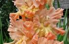 Сорт капусты гладиолуса: Великая княгиня елизавета