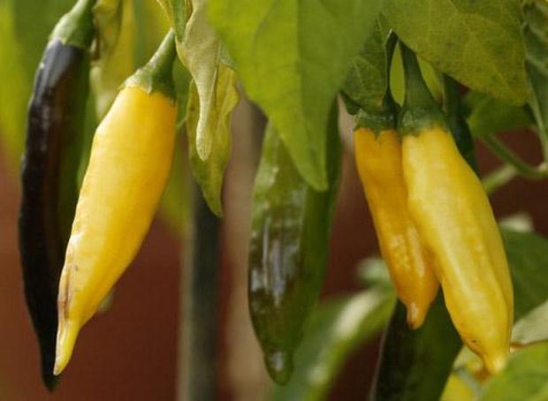 Сорт перца острого: Венгерский желтый