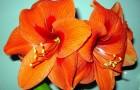 Сорт гиппеаструма: Весенний мотив