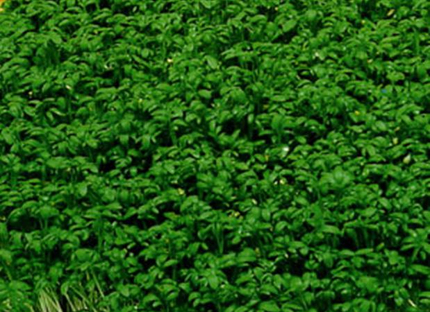 Сорт кресс-салата: Весенний