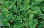 Сорт капусты китайской: Веснянка