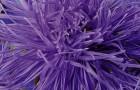 Сорт астры однолетней: Виолетта