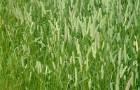 Сорт мятлика лугового: Висим
