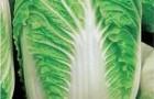 Сорт капусты пекинской: Ворожея