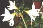 Сорт гиппеаструма: Воспоминание