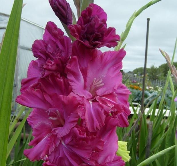 Сорт капусты гладиолуса: Встреча с прекрасным