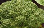 Сорт капусты брокколи: Вярус