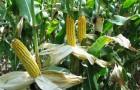 Сорт кукурузы сахарной: Забава