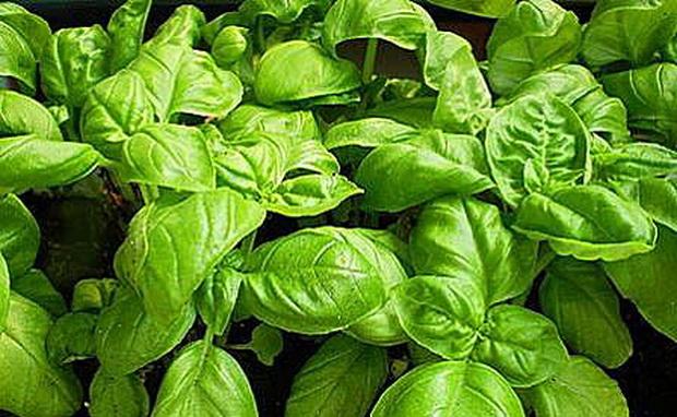 Сорт базилика: Зеленый ароматный