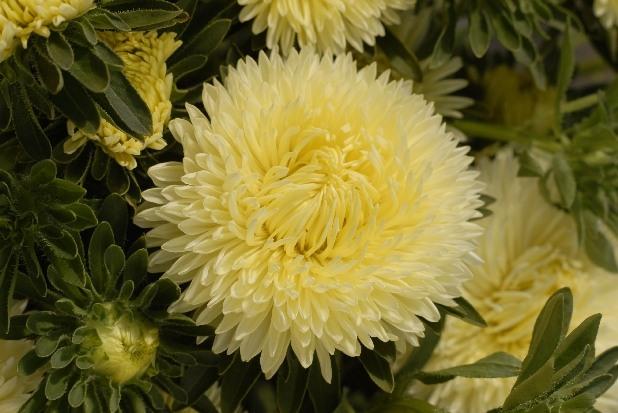 Сорт астры однолетней: Златоцвета