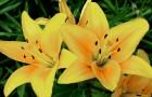 Сорт лилии: Знойное лето