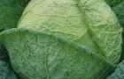 Сорт капусты савойской: Золотая ранняя