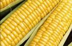 Сорт кукурузы сахарной: Золотой батам