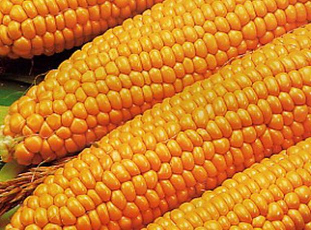 Сорт кукурузы сахарной: Золотой лед