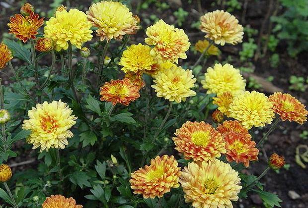 Сорт хризантемы: Агафия