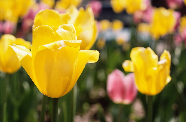 Сорт тюльпана: Академик лисавенко