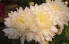Сорт хризантемы: Академик жирмунский