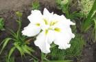Сорт ириса: Алтайская снегурочка