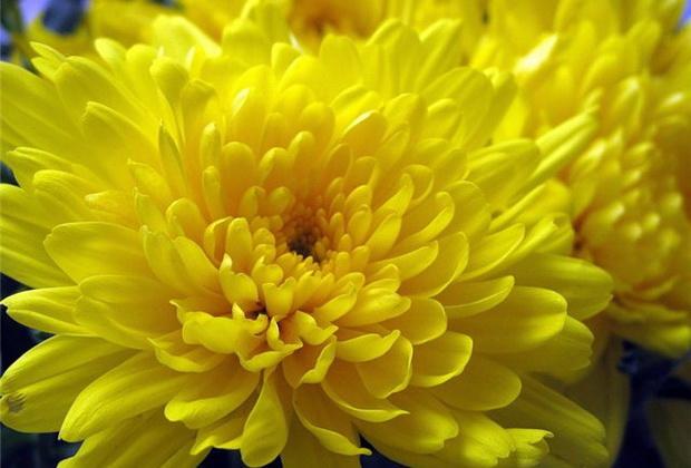 Сорт хризантемы: Алтын ай