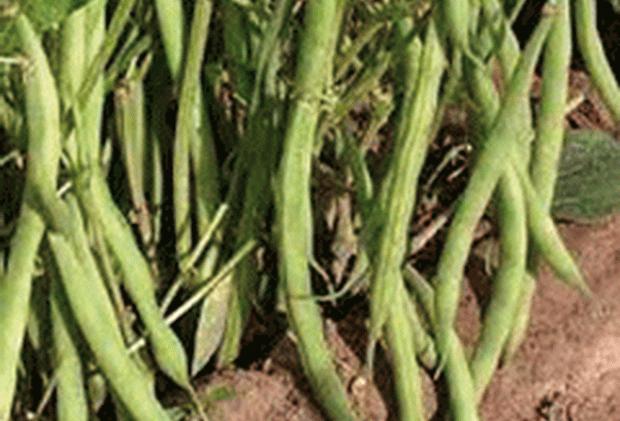 Сорт фасоли: Амальтея