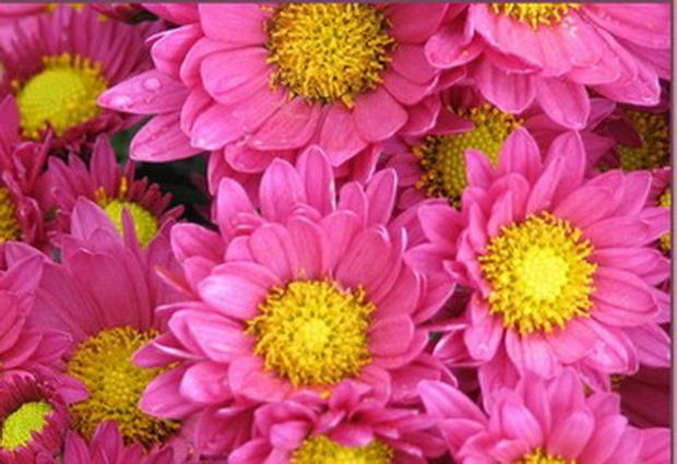 Сорт хризантемы: Аннушка