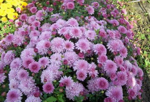Сорт хризантемы: Антон чехов