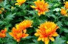 Сорт хризантемы: Бабье лето
