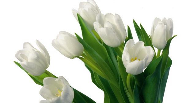 Сорт тюльпана: Белая русь