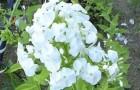 Сорт флокса метельчатого: Белоснежка