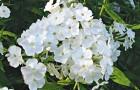 Сорт флокса метельчатого: Бордюрный белый