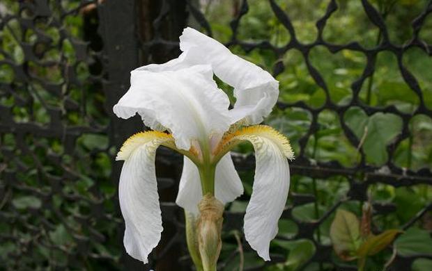 Сорт ириса: Бордюрный белый