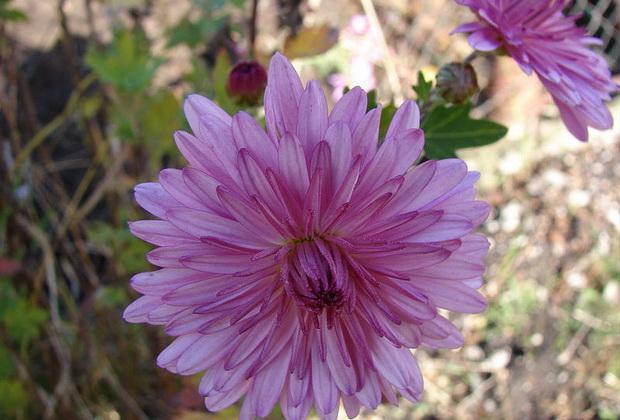 Сорт хризантемы: Дальневосточница
