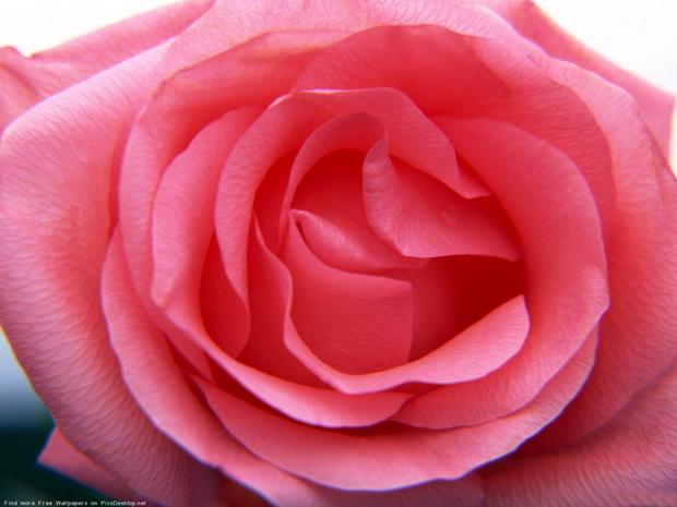 Сорт розы: Далос