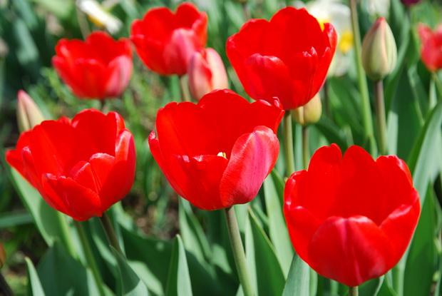 Сорт тюльпана: День победы