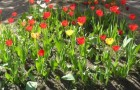 Сорт тюльпана: Детский сад