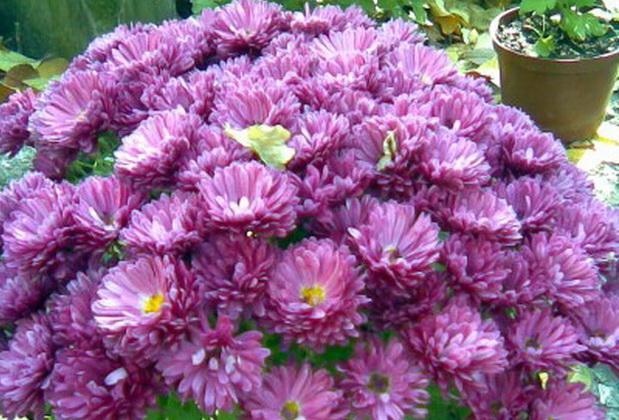 Сорт хризантемы: Директор з.х.шигапов