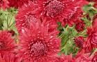 Сорт хризантемы: Дуслык 450
