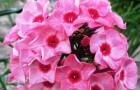 Сорт флокса метельчатого: Дымка