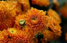 Сорт хризантемы: Елена