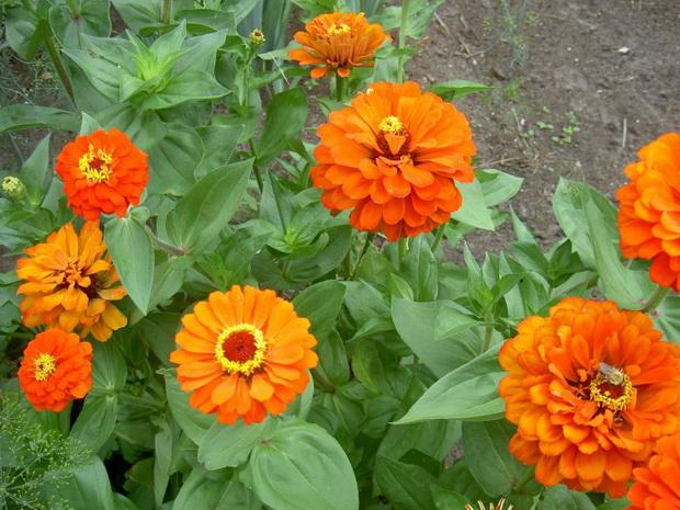 Сорт цинии: Фантазия оранжевая